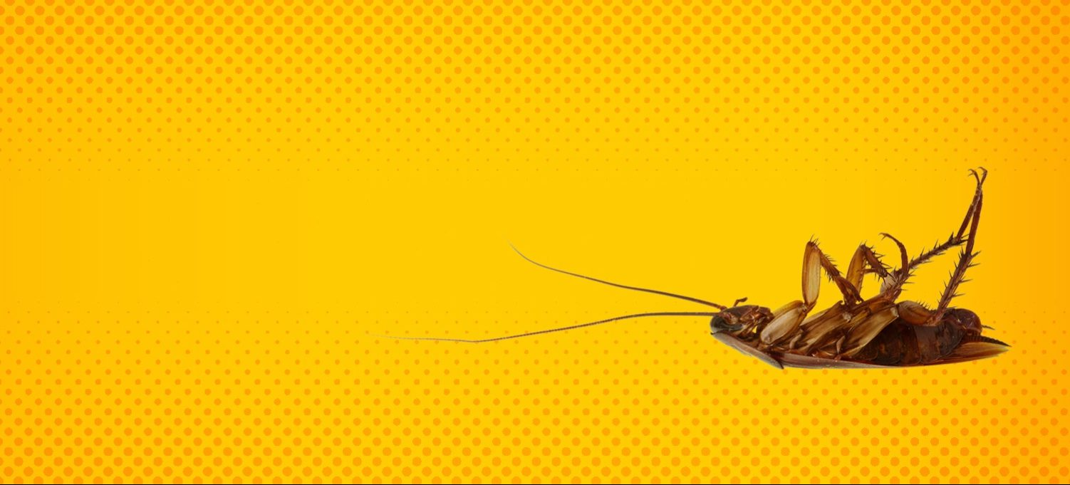 dead roach on yellow background